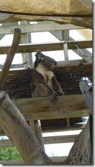 Boomerang Kangaroos Koalas 132