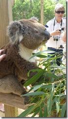 Boomerang Kangaroos Koalas 169