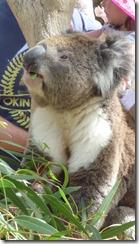 Boomerang Kangaroos Koalas 175