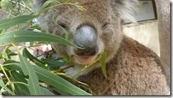Boomerang Kangaroos Koalas 208