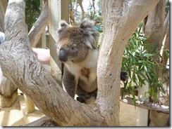 Boomerang Kangaroos Koalas 243