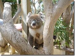 Boomerang Kangaroos Koalas 246