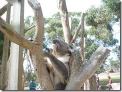 Boomerang Kangaroos Koalas 266