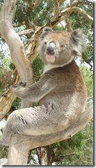 Boomerang Kangaroos Koalas 294
