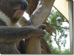 Koalas have four fingers
