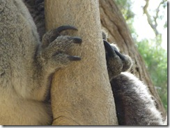 Koalas have three toes!