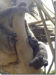 The Paws and Claws of a Koala