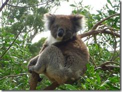 Boomerang Kangaroos Koalas 338