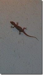 Geckos everywhere!