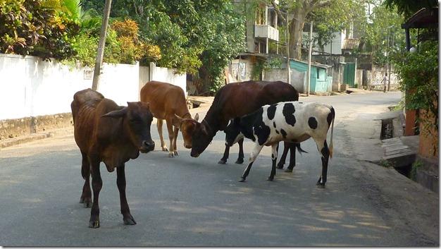 Cow traffic jam in Colombo street