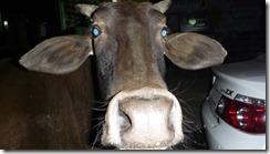 Delhi Cow in Road (1)