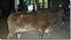 Delhi Cow in Road (2)