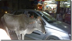 Delhi Cow in Road (3)