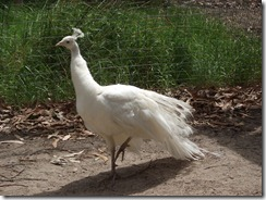 Yes, this is a WHITE peacock