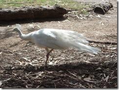Victor Harbor Urimburrim Wildlife Park (151)