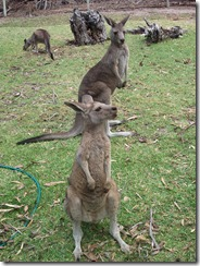 Victor Harbor Urimburrim Wildlife Park (17)