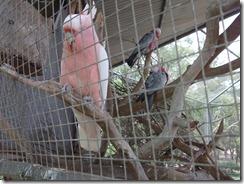Victor Harbor Urimburrim Wildlife Park Galahs