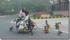 Delhi Monkeys (4)