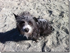Pepper AFTER a swim in the shallow muddy river - she went in unprompted all by herself.  Swims like an otter!